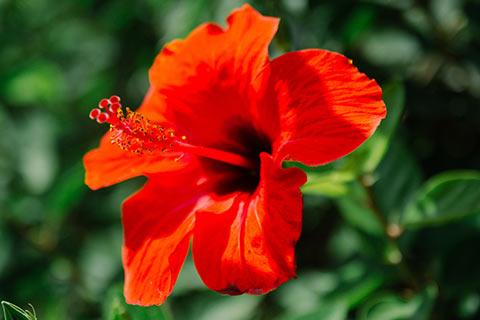 Fleur d'Hibiscus à Malaga