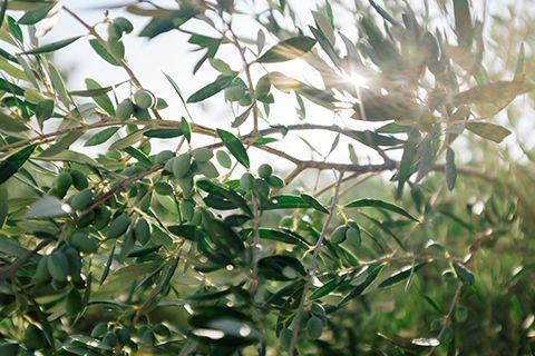 Au coeur des oliviers