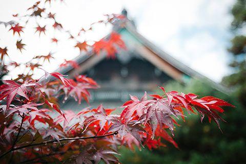 Erable rouge pendant l'automne à Kyoto