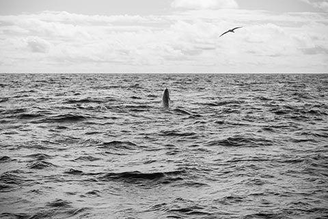 Un dauphin sautant hors de la mer