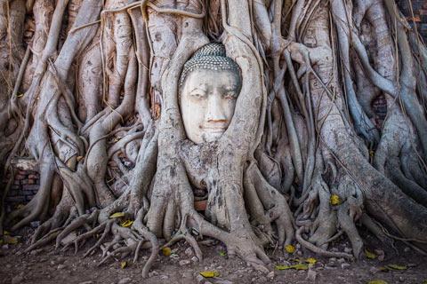 Tête de Bouddha prise dans un arbre